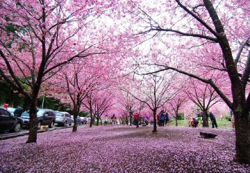 Must-Go Taiwan Attractions For Viewing Cherry Blossom
